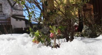 Helleboro – Anticipo di primavera